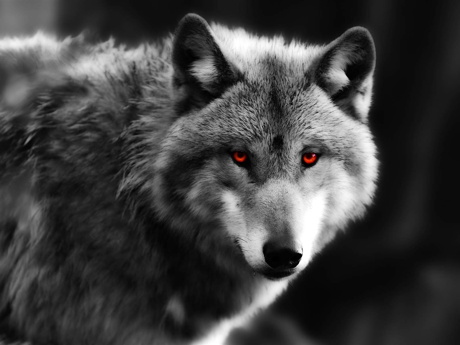 Wolf Wallpaper Iphone Fonds D 233 Cran Loup Close Up Yeux Rouges Pr 233 Dateur