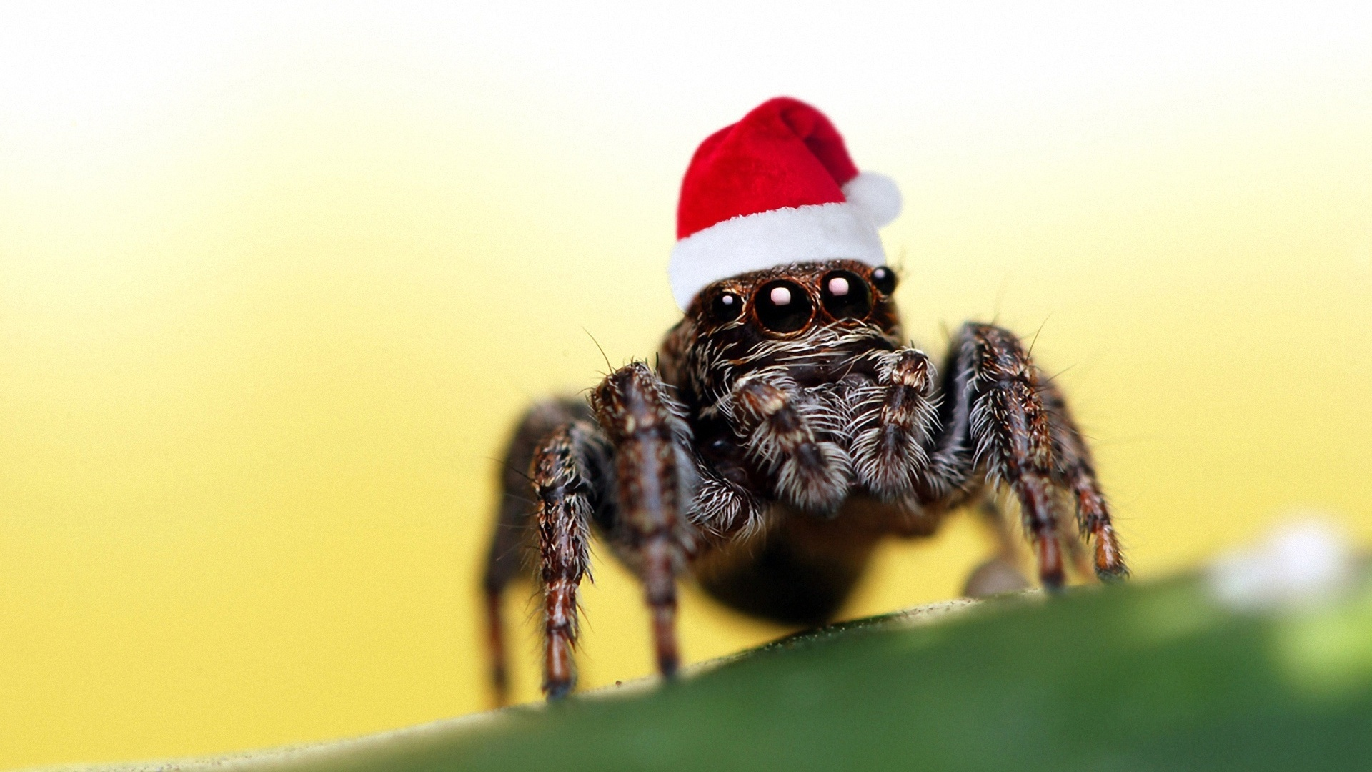Cute Jumping Spider Wallpaper Fonds D 233 Cran T 233 L 233 Charger 1920x1080 Chapeau De No 235 L D