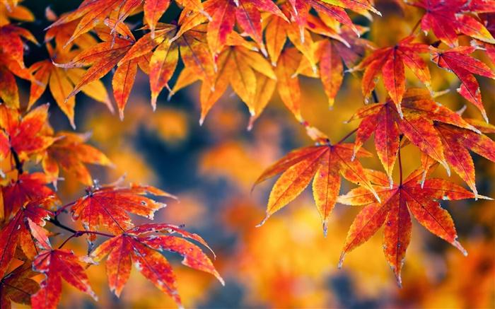 Fall Leaves Desktop Wallpaper Backgrounds Feuilles D 233 Rable Rouge Automne Bokeh Hd Fonds D 233 Cran