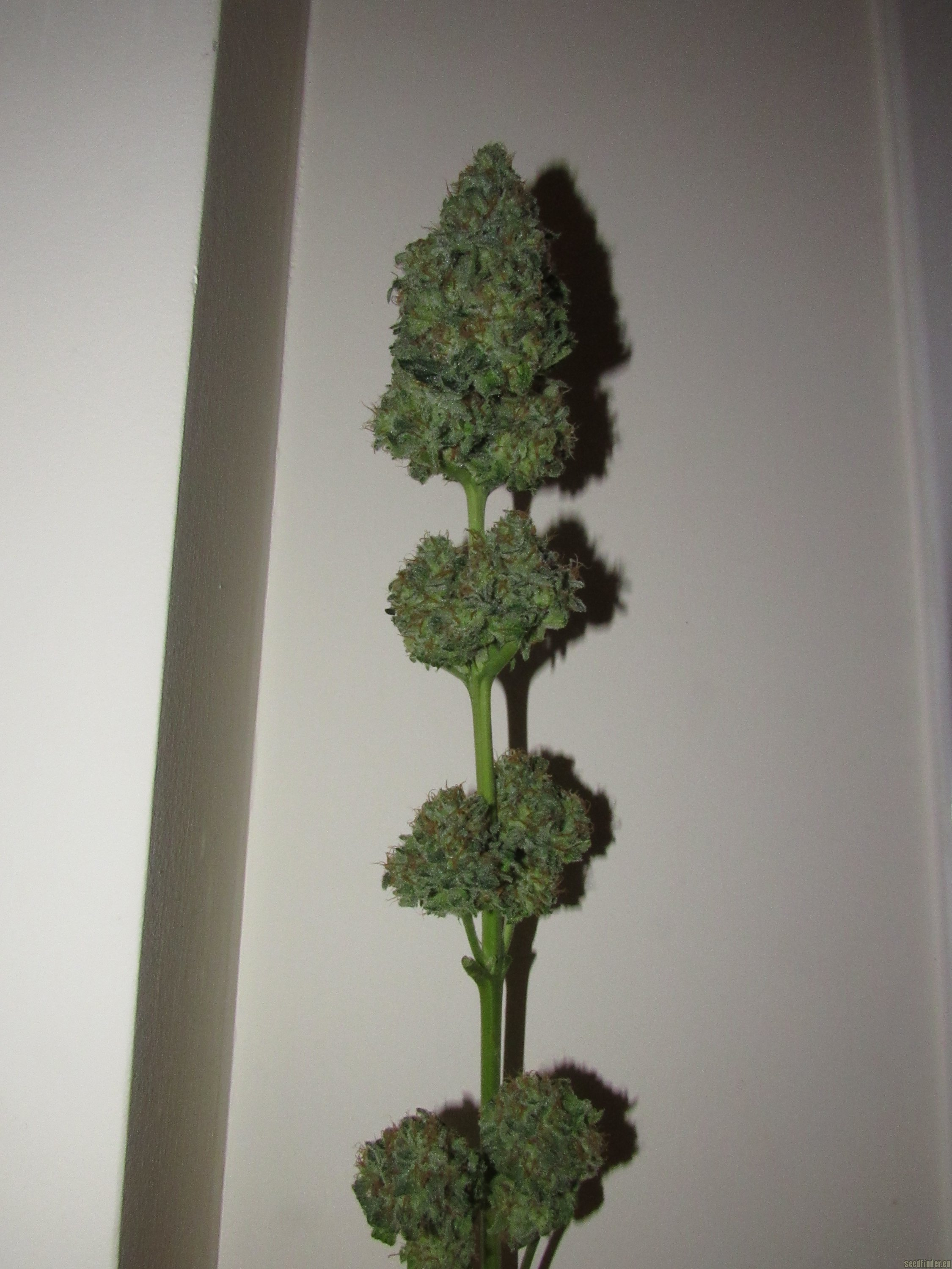 Exterieur But Bubble Kush (by Royal Queen Seeds) :: Seedfinder :: Info