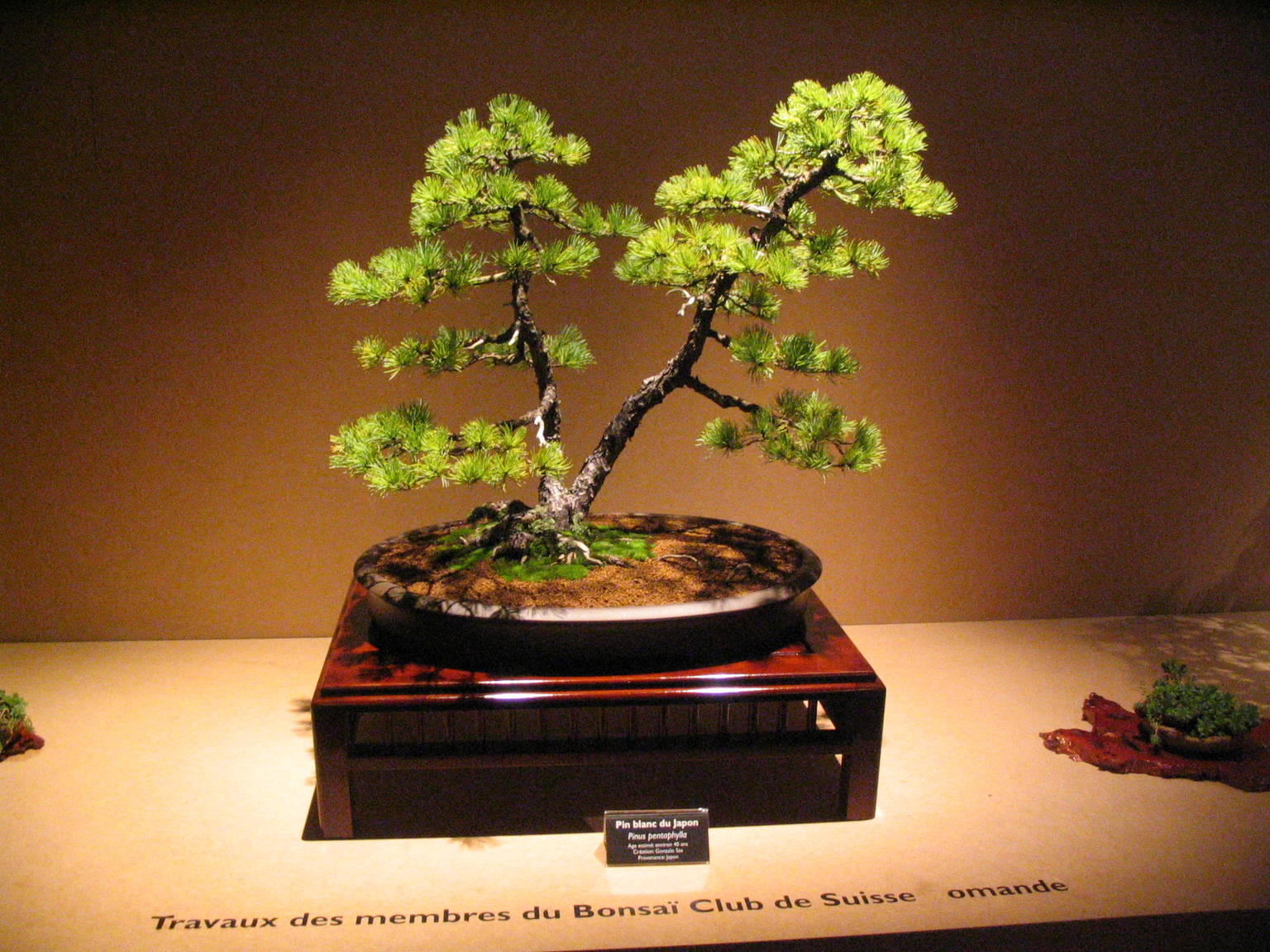 Bonsai D Interieur Especes Bonsai