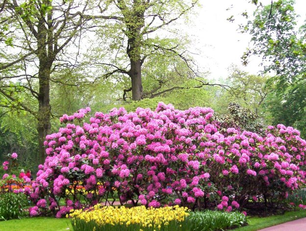 Rhododendrons growing in a garden at Keukenhof Gardens in the Netherlands.