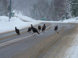 Wild Turkeys getting off Hwy 35 near Dorset, Ontario