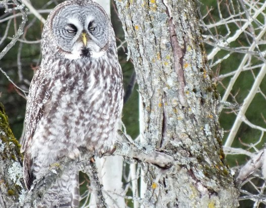 Great Grey Owl - wake me up when its over - Ottawa - Ontario - Canada - Frame To Frame - Bob & Jean picture