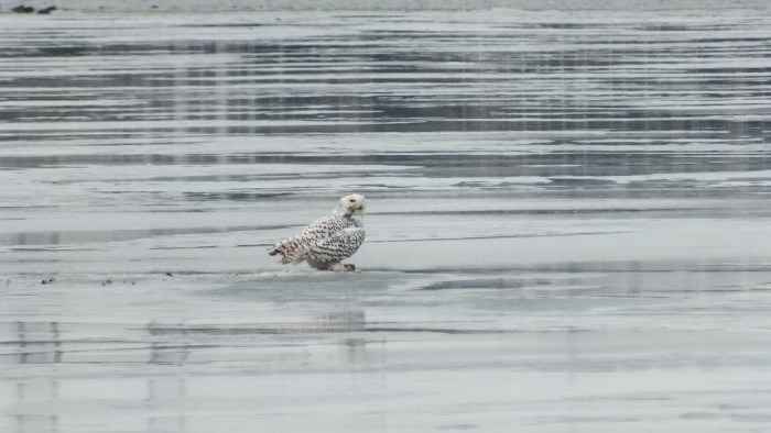 Snowy Owl sits on icey Frenchman's Bay - Ontario - Canada