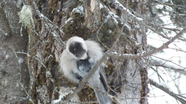 Gray Jay preens its chest in Algonquin Park