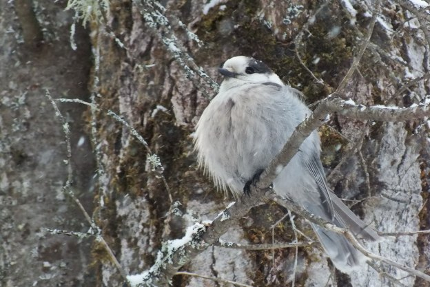 Gray Jay sits proudly in Algonquin Park