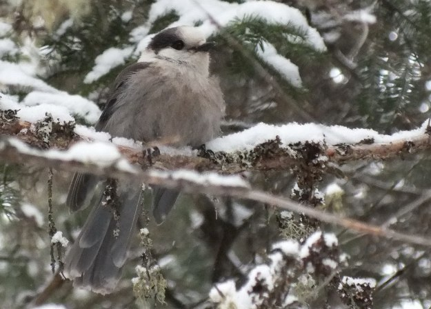 Northern Gray Jay - Algonquin Park - Ontario