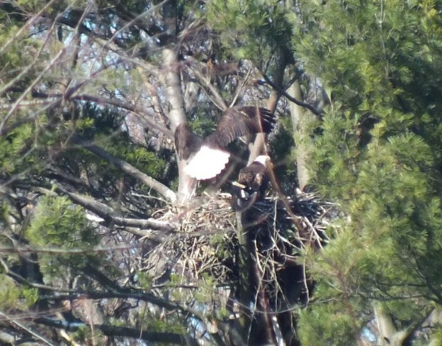 Bald Eagle lands in nest - Cootes Paradise Marsh - Hamilton - Ontario