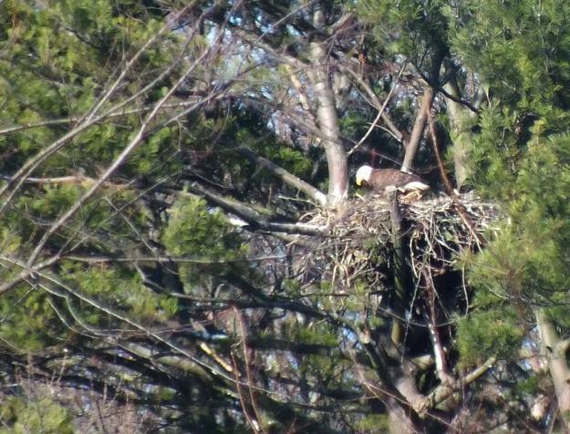 Bald Eagle on nest - Cootes Paradise Marsh - Hamilton - Ontario