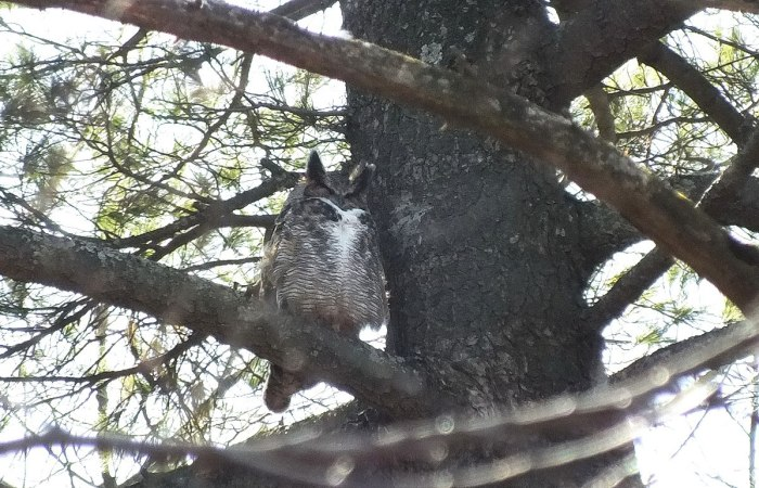 great horned owl - male - thicksons woods - whitby - ontario