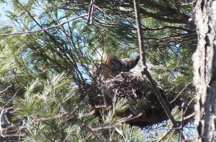great horned owl - mother tail feathers - thicksons woods