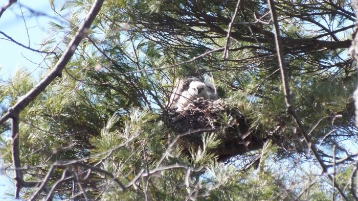 great horned owl nest with chicks