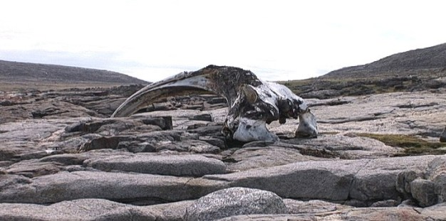 decaying bowhead whale jawbone on kekerten island - nunavut