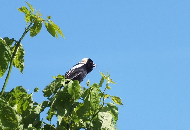 Bobolink - looks forward atop green tree - forks of the credit provincial park - ontario
