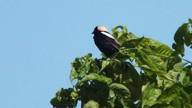 Bobolink - view of its head and back - forks of the credit provincial park - ontario