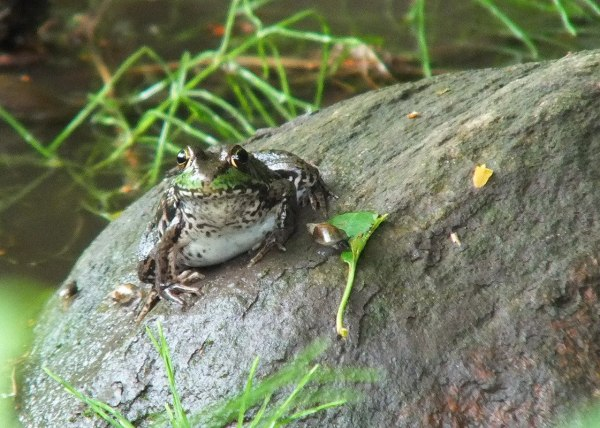 green frog - sits atop a rock - seaton trail - green river - whitevale - ontario