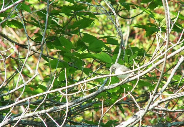 warbling vireo - sits among tree branches - second marsh - oshawa - ontario