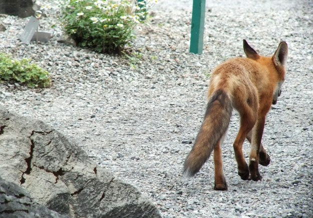 Red Fox heads down the trail - Montreal Botanical Garden - Frame To Frame Bob & Jean