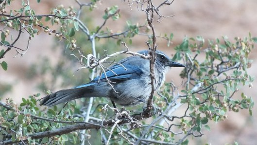 western scrub jay - in tree along bright angel trail, grand canyon