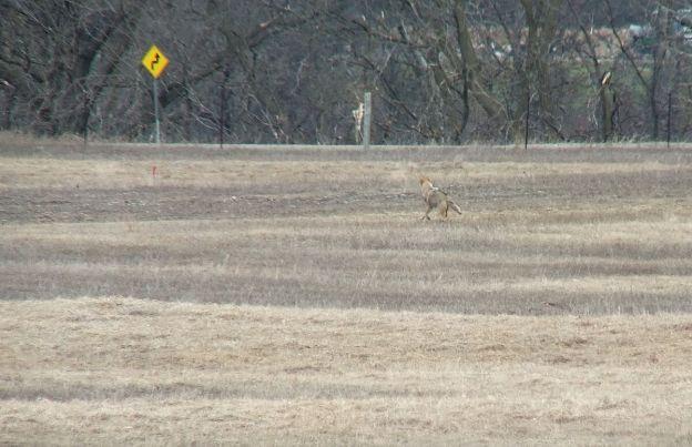coyote near grass lake_cambridge_ontario 4