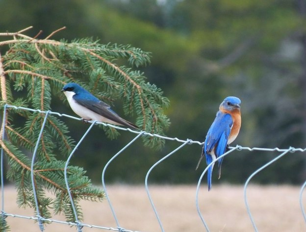 eastern bluebird male along brant waterloo road_cambridge_ontario 11