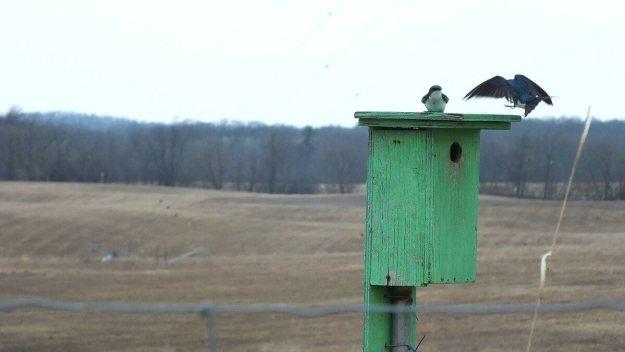 tree swallows near grass lake_cambridge_ontario 4