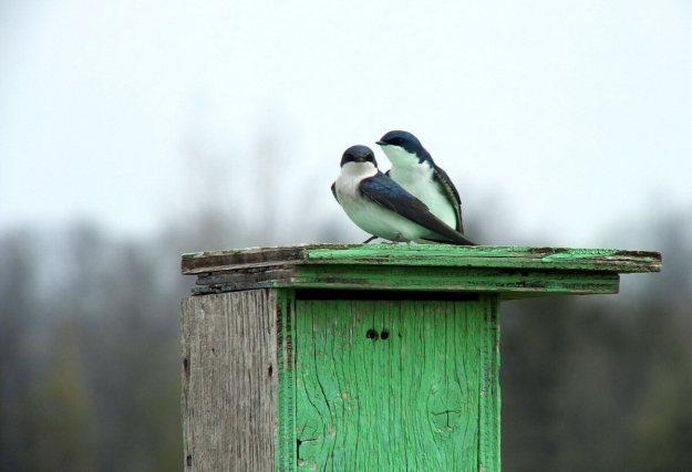 tree swallows near grass lake_cambridge_ontario 7