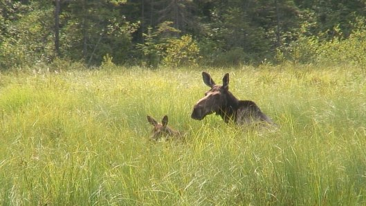moose in algonquin park swamp - mizzy lake trail 5