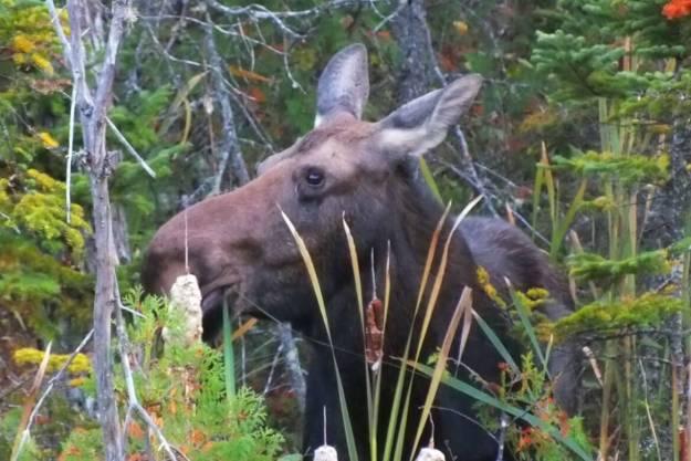 moose, algonquin park, ontario, pic 3