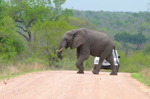 An African Bush Elephant crosses a dirt road in Kruger National Park, South Africa.