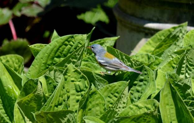 Northern parula sitting on a plant leaf in Toronto, Ontario