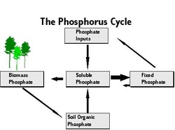 phosphorus cycle diagram