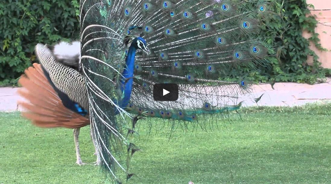 Peacock Dance at Jodhpur