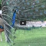 peacock-dance-video