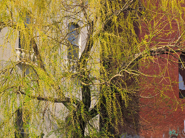 Yellow Willow, 2010, photo by Fred Hatt