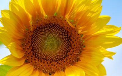 sunflower wallpapers, photos and desktop backgrounds up to 8K [7680x4320] resolution