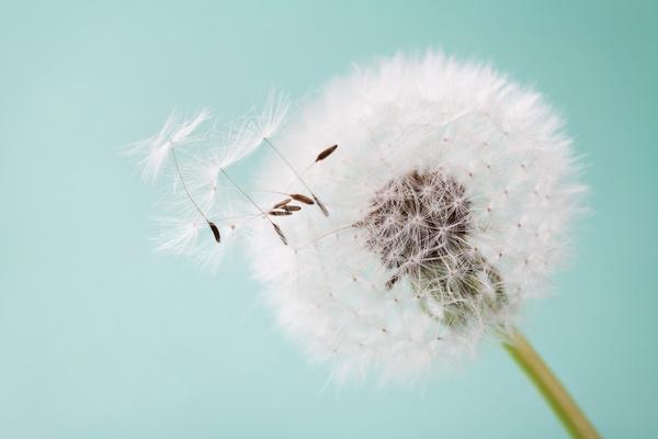 3d Emoticons Wallpapers Dandelion Fluffy Close Up Serene Art Background Free Download