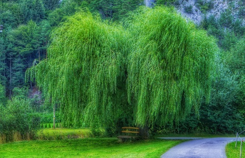 Stock Photo Spring park green willow free download - photo of spring