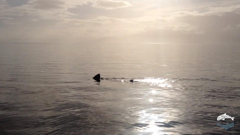 shark basking in clyde