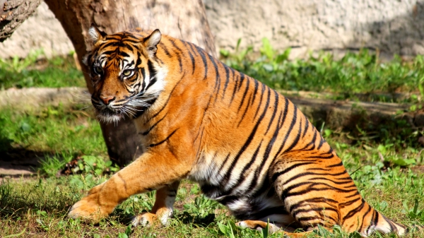 FreePhotosForCommercialUse.com, Cool animals - pictures of wild animals - tigers-600x337