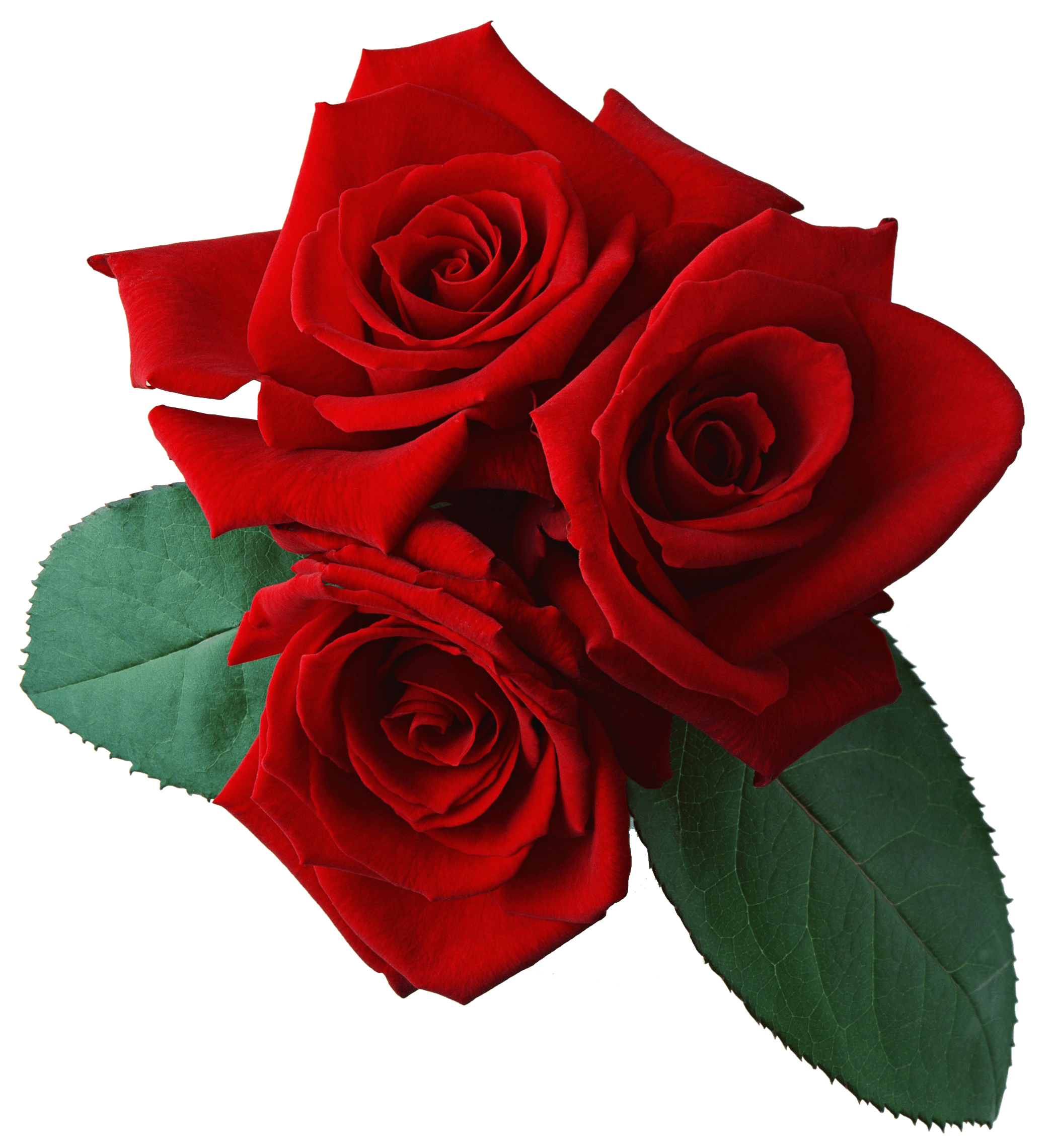 Rose Download Red Rose Transparent Background Hq Png Image Freepngimg