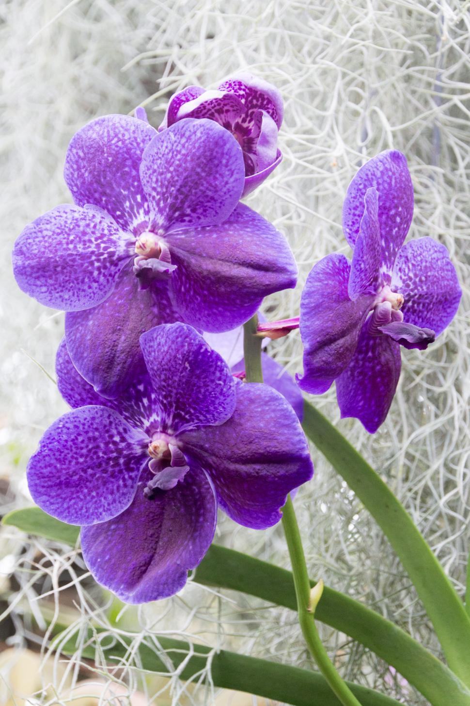 Free Stock Photo Of Cluster Of Blue Vanda Orchid Flowers Online Download Latest Free Images And Free Illustrations