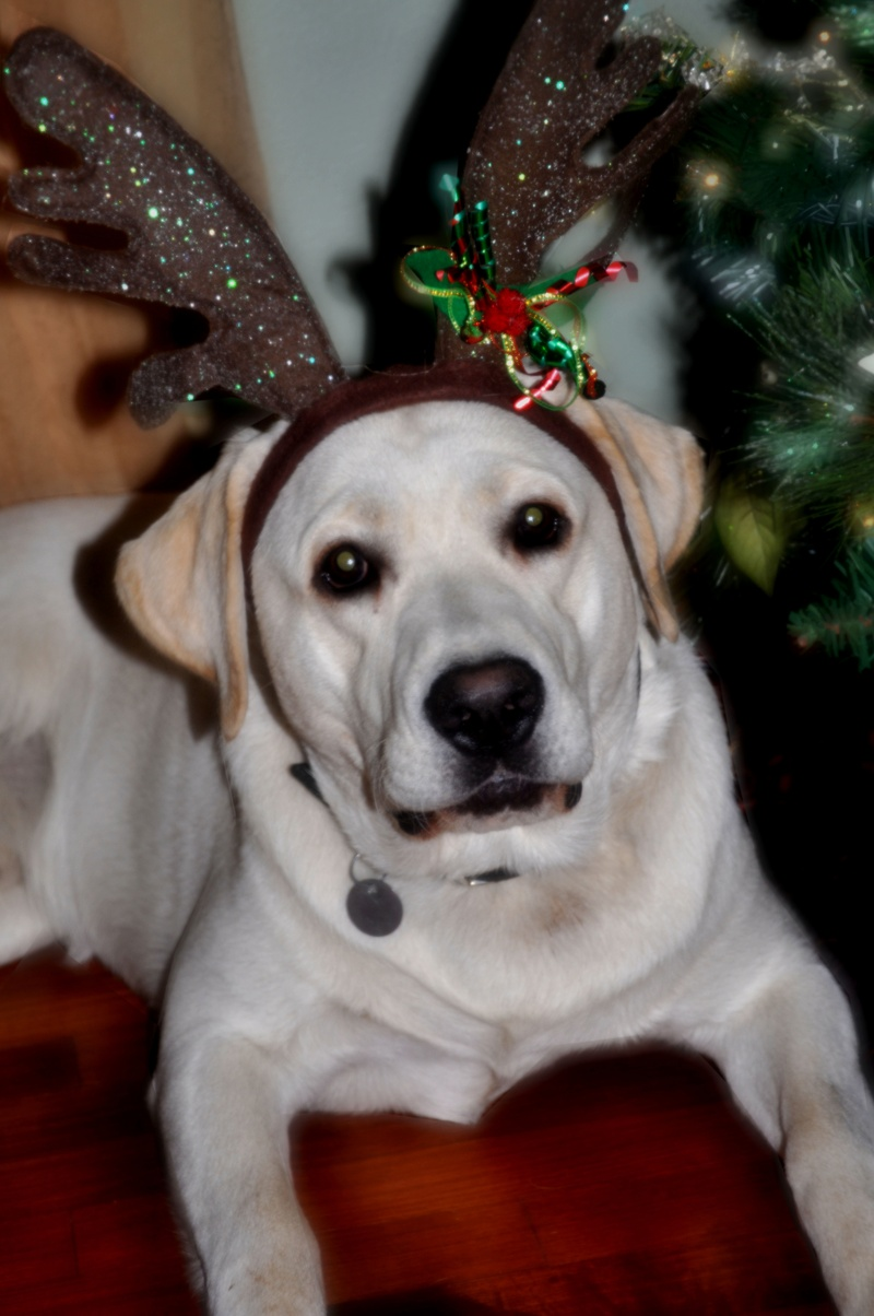 Yellow Lab Dogs For Sale White Lab Puppies And White English Labrador Retrievers Puppies