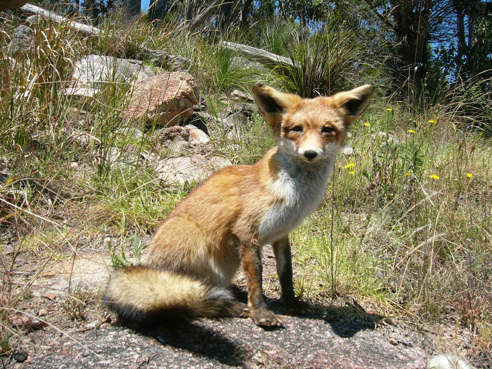 Pet Fox For Sale Australia Male Red Fox Lifesize Mount 660 00