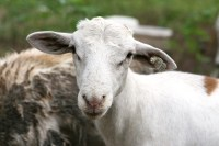 Golden Acres Ranch- Naturally Raised Goat and Lamb | Fresh ...
