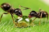 Ameisen bekmpfen im Haus und im Garten - Hausmittel gegen ...
