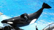 Tilikum performing in Orlando. Note the collapsed dorsal fin. Less than 1% of wild orcas suffer from dorsal collapse