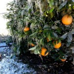 Orange Cove Irrigation District / John Sanders Friant water turns to ice in an Orange Cove Irrigation District orange grove as a result of frost protection irrigation activities during the valley's mid-December freezing weather.