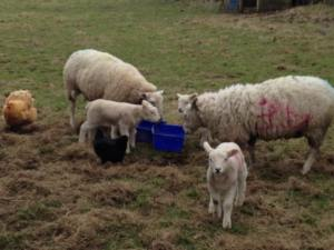 lambs getting fatter